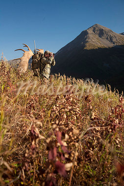 Male moose hunter stops to glass the area with binoculars as he hikes out of hunt area with trophy moose antler on his pack, Bird Creek drainage area, Chugach Mountains, Chugach National Forest, Southcentral Alaska, Autumn Stock Photo - Premium Rights-Managed, Artist: AlaskaStock, Code: 854-03845069