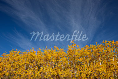 View of scenery and yellow Aspen trees along the Alaska Highway between Haines and Haines Junction, Yukon Territory, Canada Stock Photo - Premium Rights-Managed, Artist: AlaskaStock, Code: 854-03845133