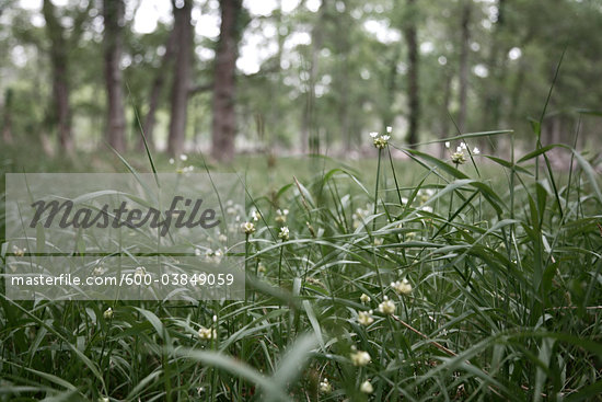 Close-up of Field of Grass, Stephen F. Austin Park, Sealy, Texas, USA Stock Photo - Premium Royalty-Free, Artist: Mark Peter Drolet, Code: 600-03849059