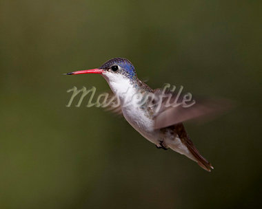 Violet-crowned hummingbird (Amazilia violiceps) in flight, Patagonia, Arizona, United States of America, North America Stock Photo - Premium Rights-Managed, Artist: Robert Harding Images, Code: 841-03868999