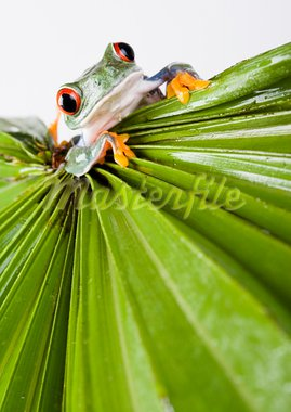 Frog - small animal with smooth skin and long legs that are used for jumping. Frogs live in or near water. / The Agalychnis callidryas, commonly know as the Red-eyed tree Frog is a small (50-75 mm / 2-3 inches) tree frog native to rainforests of Central America. Stock Photo - Royalty-Free, Artist: JanPietruszka, Code: 400-03913772