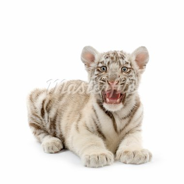White Tiger cub (3 months) in front of a white background. Stock Photo - Royalty-Free, Artist: isselee, Code: 400-03918182