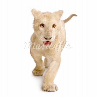 studio shot of a white Lion Cub  (5 months) in front of a white background. Stock Photo - Royalty-Free, Artist: isselee, Code: 400-03918444