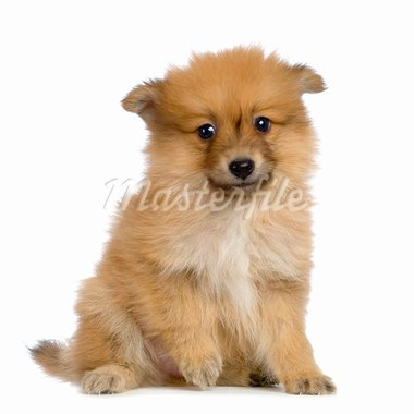 Spitz puppy sitting in front of white background Stock Photo - Royalty-Free, Artist: isselee, Code: 400-03918547