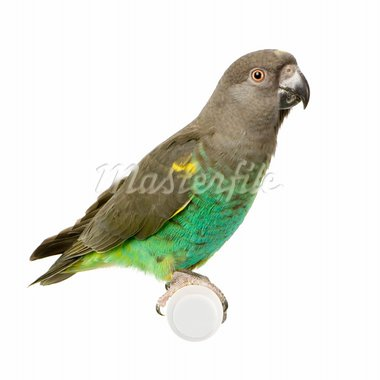 Meyer's Parrot in front of a white background Stock Photo - Royalty-Free, Artist: isselee, Code: 400-03919264