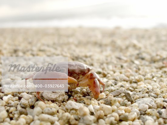Close up shot of red crab on pebbled shore Stock Photo - Royalty-Free, Artist: ian_atpn, Code: 400-03927643