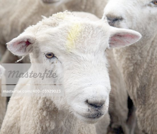 A shorn sheep with a yellow raddel mark on its face Stock Photo - Royalty-Free, Artist: MargoJH, Code: 400-03929023