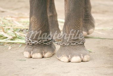 Legs of the elephant prisoner by a circuit Stock Photo - Royalty-Free, Artist: Friday, Code: 400-03945717