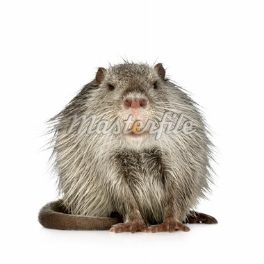 Coypu or Nutria in front of a white background Stock Photo - Royalty-Free, Artist: isselee, Code: 400-03954385