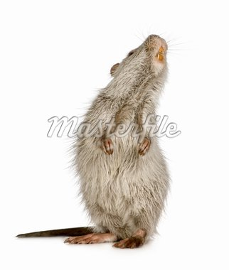 Coypu or Nutria in front of a white background Stock Photo - Royalty-Free, Artist: isselee, Code: 400-03954392