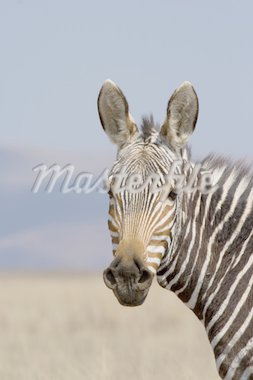 Portrait of a rare and endangered Mountain Zebra Stock Photo - Royalty-Free, Artist: nightowlza, Code: 400-03955330