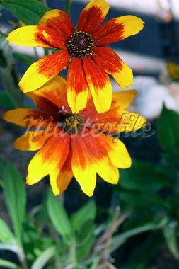 Yellow Red Flowers Stock Photo - Royalty-Free, Artist: Nikonite, Code: 400-03964279
