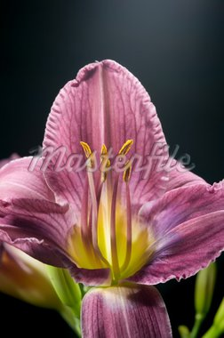 Close-up on Prairie Blue Eyes Day lily (Hemerocallis) Stock Photo - Royalty-Free, Artist: websubstance, Code: 400-03965935