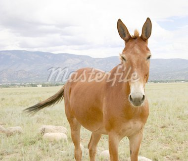 Close up of horse in Colorado pasture Stock Photo - Royalty-Free, Artist: backyardproduction, Code: 400-03976013
