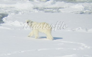 Polar bear close to Svalbard Stock Photo - Royalty-Free, Artist: HansPetter, Code: 400-03977666
