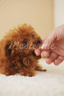 Small Poodle Dog licking Pet Owner's Finger Stock Photo - Premium Rights-Managed, Artist: Aflo Relax, Code: 859-03982831