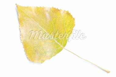 Aspen leaf Stock Photo - Royalty-Free, Artist: phodopus, Code: 400-04016399