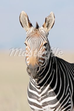 Endangered Cape Mountain Zebra (Equus zebra), Mountain Zebra National Park, South Africa  Stock Photo - Royalty-Free, Artist: EcoShow, Code: 400-04016797