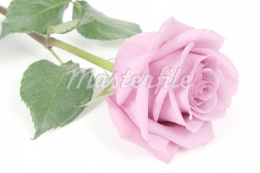 Pink rose with white background, taken closeup Stock Photo - Royalty-Free, Artist: melking, Code: 400-04019651