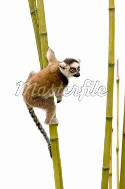 Ring-tailed Lemur (6 weeks) - Lemur catta in front of a white background Stock Photo - Royalty-Free, Artist: isselee, Code: 400-04025625