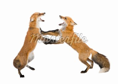 Red fox (4 years) - Vulpes vulpes in front of a white background Stock Photo - Royalty-Free, Artist: isselee, Code: 400-04047573