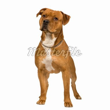 American Staffordshire terrier (2 years) in front of a white background Stock Photo - Royalty-Free, Artist: isselee, Code: 400-04058262