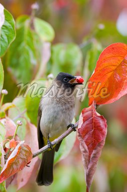 a darkcapped bulbul collecting berries amongst the autumn leaves Stock Photo - Royalty-Free, Artist: Hannelie, Code: 400-04060038