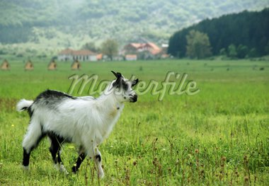 little goat in the meadow in the summer time Stock Photo - Royalty-Free, Artist: marivlada, Code: 400-04061950