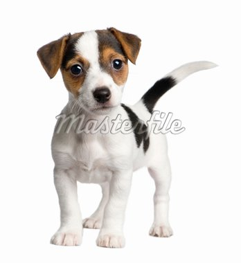 puppy Jack russell (8 weeks) in front of a white background Stock Photo - Royalty-Free, Artist: isselee, Code: 400-04084103