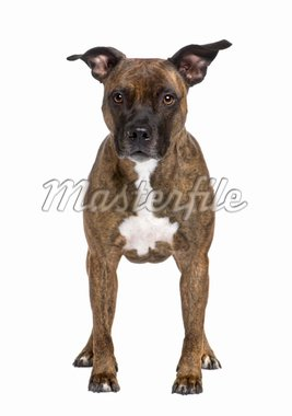 American Staffordshire terrier (8 years) in front of a white background Stock Photo - Royalty-Free, Artist: isselee, Code: 400-04084229