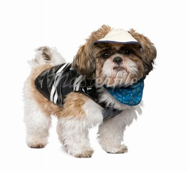 Shih Tzu in front of a white background Stock Photo - Royalty-Free, Artist: isselee, Code: 400-04100273