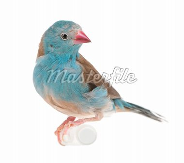 Blue-breasted Cordon-bleu - Uraeginthus angolensis in front of a white background Stock Photo - Royalty-Free, Artist: isselee, Code: 400-04107384