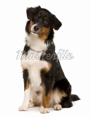 Australian Shepherd puppy, 7 months old, sitting in front of white background Stock Photo - Royalty-Free, Artist: isselee, Code: 400-04166566