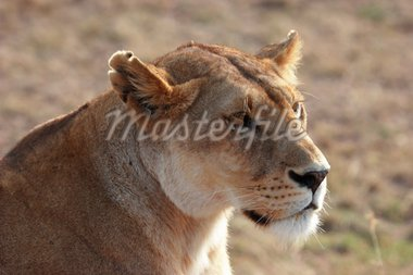 Young lion in Kenia looking around Stock Photo - Royalty-Free, Artist: AchimHB, Code: 400-04172491