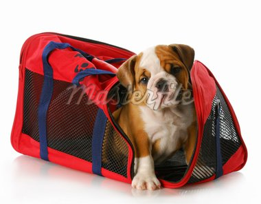 adorable eight week old english bulldog peaking out of travel tote bag Stock Photo - Royalty-Free, Artist: willeecole, Code: 400-04205946