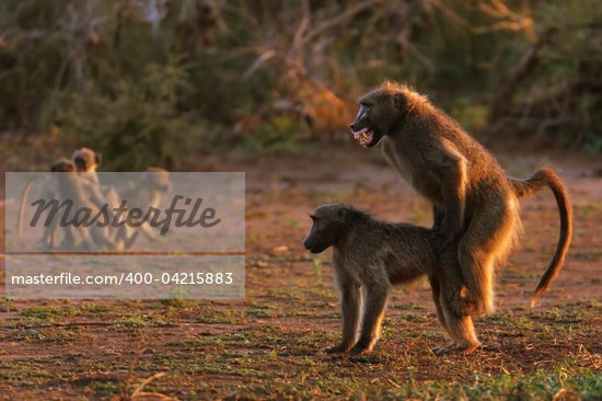 400- adult African animal baboon behavior behaviour chacma baboon Copulating ...