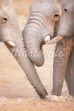 Close-up of three elephants drinking water from a  hole in the ground ; Etosha Stock Photo - Royalty-Free, Artist: JohanSwan, Code: 400-04215942
