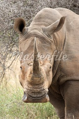 Portrait of a White Rhinoceros; Ceratotherium Simum; South Africa Stock Photo - Royalty-Free, Artist: JohanSwan, Code: 400-04216010