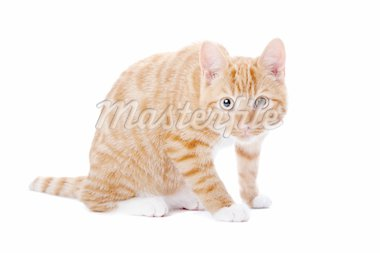 Cute foxy-red kitten sitting on white background Stock Photo - Royalty-Free, Artist: eriklam, Code: 400-04227795