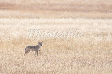 Coyote during the fall season Stock Photo - Royalty-Free, Artist: jeanro, Code: 400-04241531