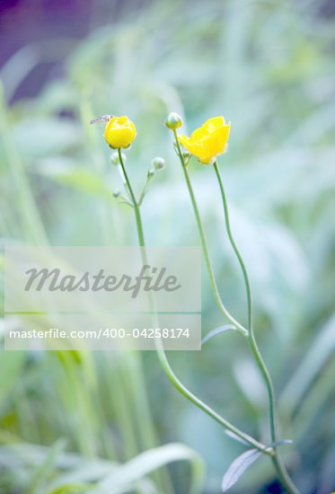 Close up of yellow buttercup flower in the grass with mosquito Stock Photo - Royalty-Free, Artist: PinkBadger                    , Code: 400-04258174