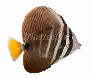 Sailfin Tang, Zebrasoma veliferum, in front of white background Stock Photo - Royalty-Free, Artist: isselee                       , Code: 400-04264752