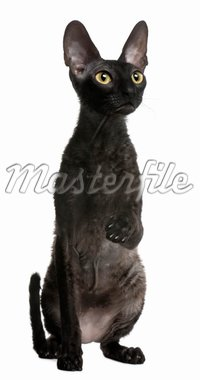 Cornish Rex cat, 1 year old, sitting in front of white background Stock Photo - Royalty-Free, Artist: isselee                       , Code: 400-04279671
