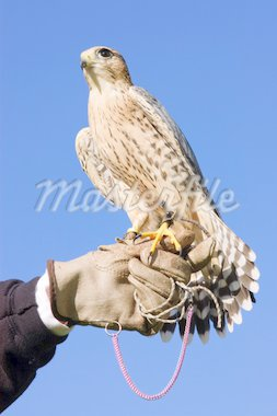 Falconer with Peregrine Falcon crossbred with a Prarie Falcon and Gyrfalcon mix sitting on gloved hand of handler Stock Photo - Royalty-Free, Artist: jeffbanke                     , Code: 400-04303671