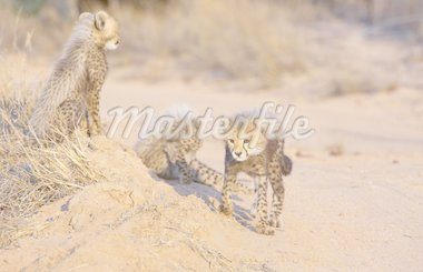 Cheetah (Acinonyx jubatus) cubs playing in savannah in South Africa   Stock Photo - Royalty-Free, Artist: hedrus                        , Code: 400-04304183