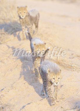 Cheetah (Acinonyx jubatus) cubs playing in savannah in South Africa   Stock Photo - Royalty-Free, Artist: hedrus                        , Code: 400-04304184