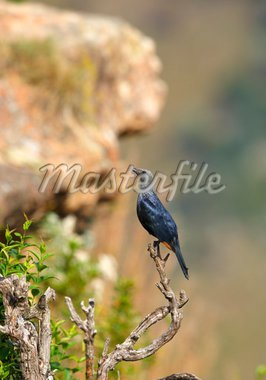 Red-winged Starling (Onychognathus morio) sitting on a branch of a tree in nature reserve in South Africa Stock Photo - Royalty-Free, Artist: hedrus                        , Code: 400-04304191
