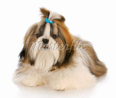 shih tzu puppy wearing blue bow laying down with reflection on white background Stock Photo - Royalty-Free, Artist: willeecole                    , Code: 400-04306979