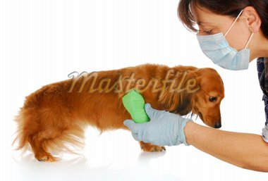 veterinary care - miniature dachshund being examined by veterinarian on white background Stock Photo - Royalty-Free, Artist: willeecole                    , Code: 400-04316689