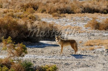 Coyotes in Death Valley Stock Photo - Royalty-Free, Artist: jeffbanke                     , Code: 400-04320455